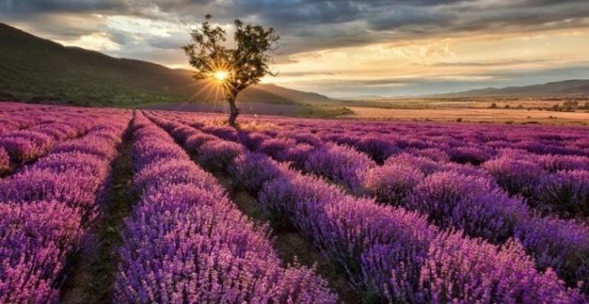 Цвітіння лаванди — не залишить байдужим нікого!