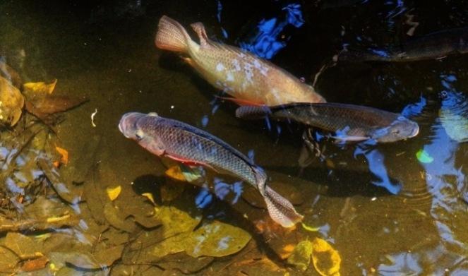 Риба для ставка