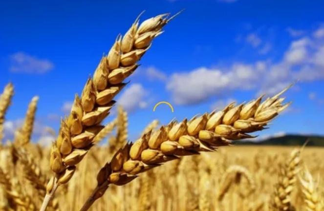 Пшеница на экспорт, кто выиграл?